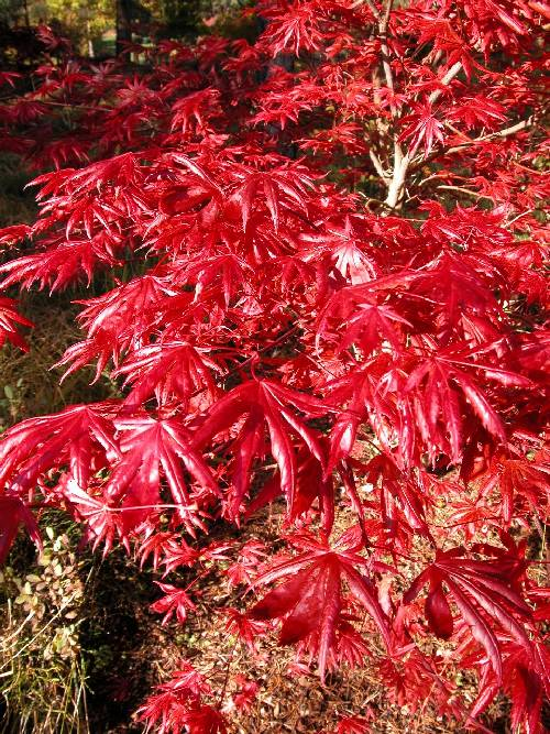 An outstanding and magnificent small maple (Acer shirasawanum 'Trompenburg')