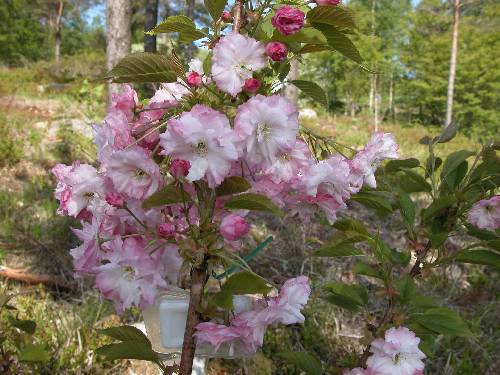 Japansk prydkirsebær (Prunus 'Pink Perfection')